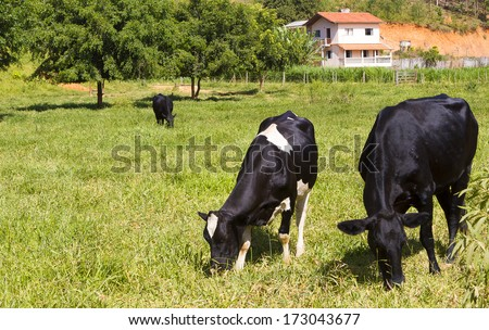 Cow on pasture - stock photo