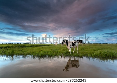 cow on pasture by river at sunset - stock photo