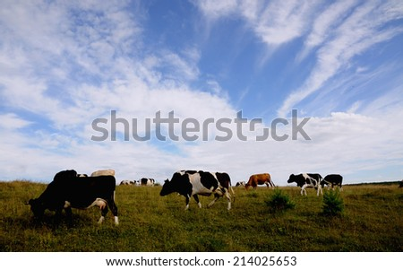 Cow on pasture eating grass. - stock photo