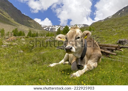 Cow on the European Alps. A cow is sitting at an alpine meadow in the European Alps. Was seen in the Schnalstal Valley, South Tyrol. - stock photo