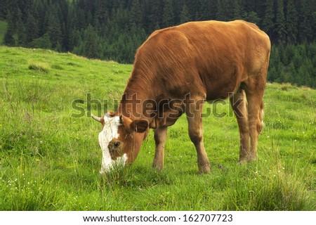 Cow on the farm field. Farm animal - stock photo