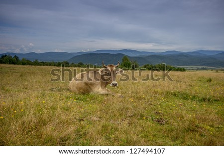 Cow on the pasture. - stock photo