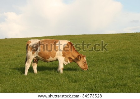 cow on the top of the hill - stock photo