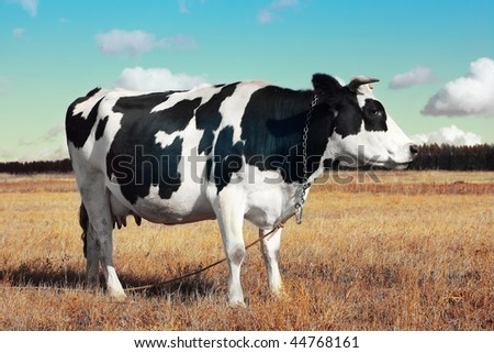 Cow on yellow meadow with cloudy sky - stock photo