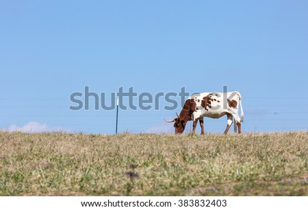 Cow out to pasture - stock photo
