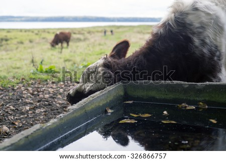 Cow scratching behind the ear of a drinking trough - stock photo