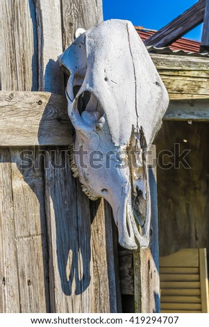 cow skull bleached by the sun - stock photo