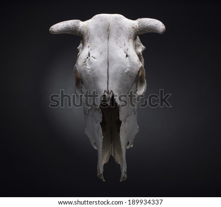 cow skull on a black background. - stock photo
