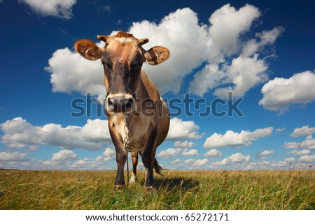 Cow standing on grass and looking to a camera on blue cloudy sky background - stock photo