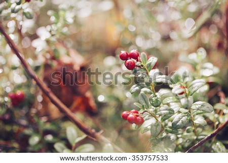 Cowberry. Bushes of ripe forest berries. Selective focus, vintage colours - stock photo