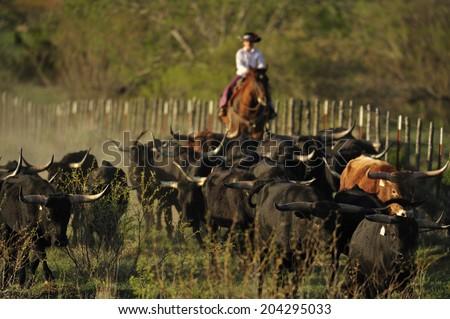 Cowboy gathering Texas longhorn - stock photo