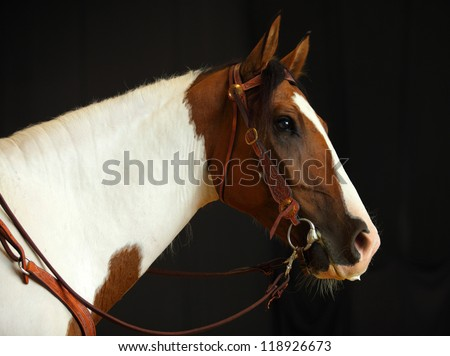 Cowboy's pinto horse in black background - stock photo