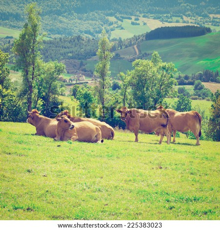 Cows and Bulls Grazing on Alpine Meadows in France, Instagram Effect - stock photo