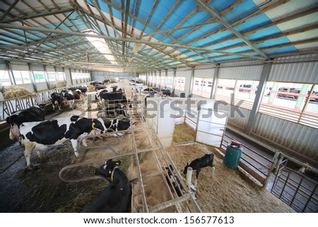 Cows and calves in the hangar with metal floor on a dairy farm  - stock photo