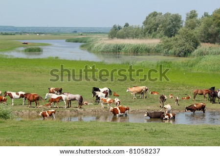 cows and horses on river - stock photo