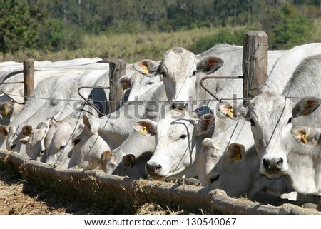 cows and ox feeding in a farm - stock photo