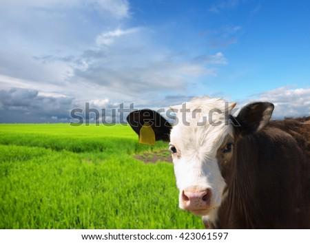 Cows at pasture - stock photo