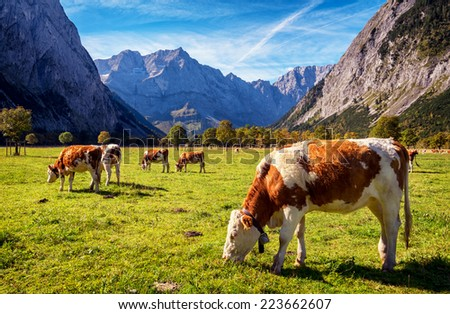 cows at the karwendel mountains in austria - stock photo