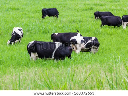 Cows black and white on the pasture - stock photo