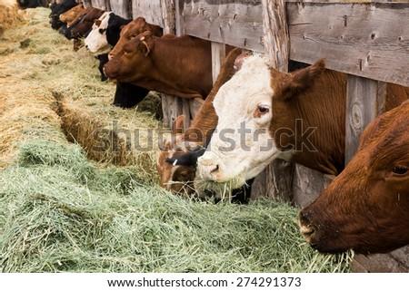 Cows breakfast dry hay. America, Utah - stock photo
