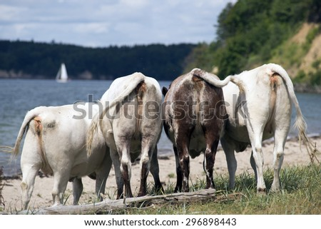 Cows close to Little Belt and beach in Denmark - stock photo