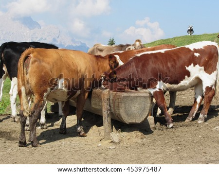 Cows drinking water from a trough in an alpine pasture with Sesto Dolomites, South Tyrol, Italy in background - stock photo