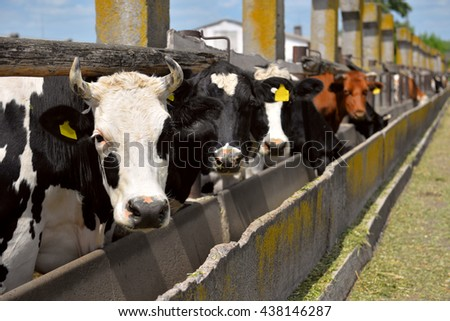 cows eat feed on the farm - stock photo
