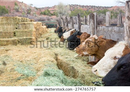 Cows eating dry grass and hay bricks stacked one on another. America, Utah - stock photo