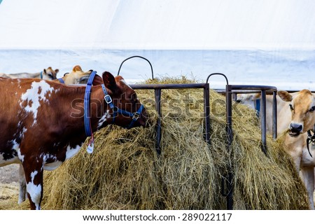 Cows eating grass - stock photo