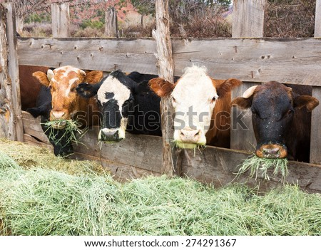 Cows eating hay on the farm - stock photo