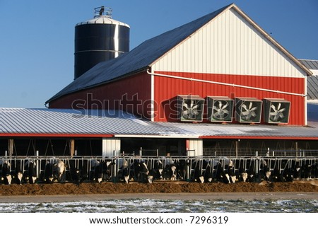cows eating silage on a farm - stock photo