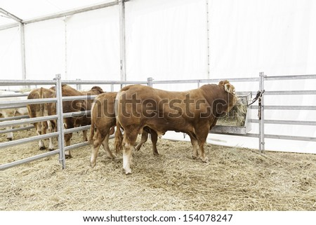 Cows exposure, detail of an animal thoroughbred stallions for sale - stock photo
