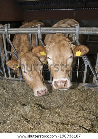 cows fed in a Dutch stable - stock photo