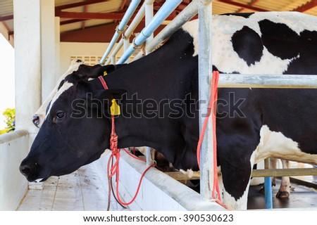 Cows feeding in a stable - stock photo
