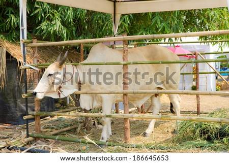 Cows feeding in the farm - stock photo
