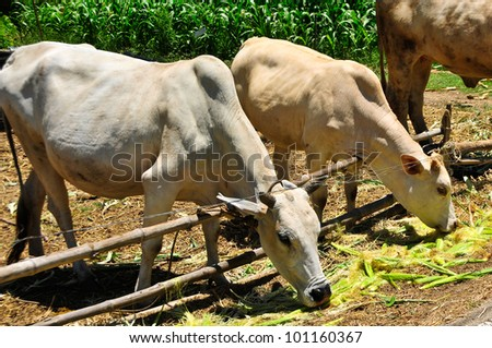 cows feeding in the open field. - stock photo