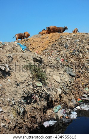 Cows graze as plastic bags, household trash and hazardous industrial waste contaminates soil, land and water at Bali's largest and most polluted landfill site in Suwung, Bali, Indonesia. - stock photo