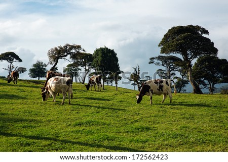 Cows graze in the fields - stock photo