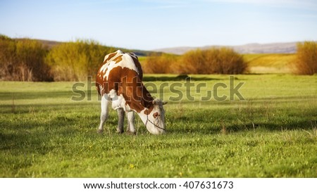 Cows graze in the green meadow - stock photo