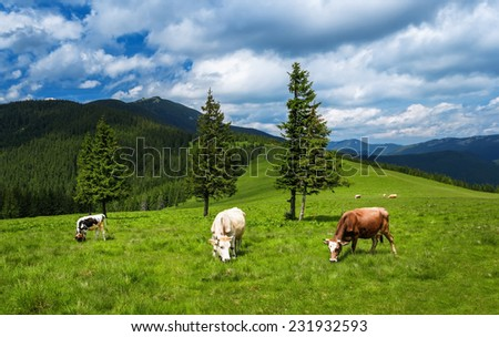 Cows graze on the mountain meadows of the Carpathians. Cows graze on the lush green field, high in the mountains. Beautiful blue sky with clouds and highlight the beauty of the forest landscape. - stock photo