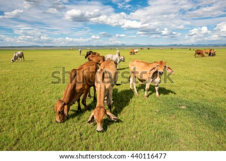 cows grazing and eating grass in grass field at farm with mountain background in sunny day clouds and blue sky  - stock photo