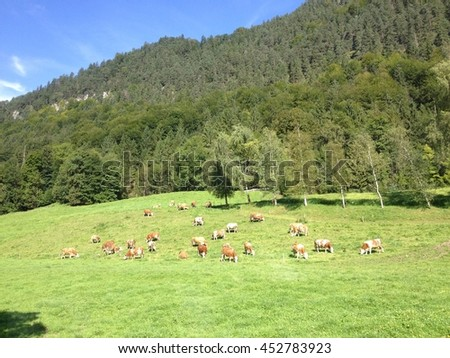 Cows grazing and resting on a green pasture in Julian Alps, Slovenia - stock photo
