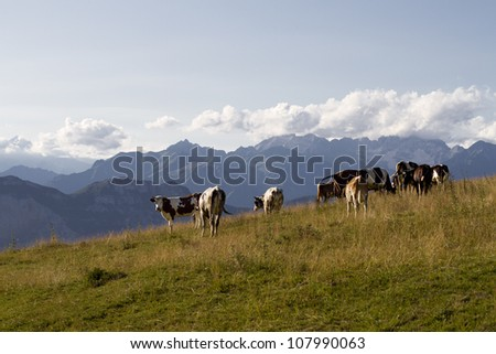 cows grazing at high altitude - stock photo