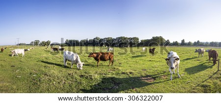 cows grazing at the meadow with green fresh grass - stock photo