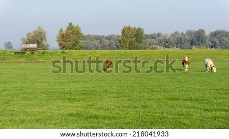 Cows grazing in a dutch meadow grassland - stock photo