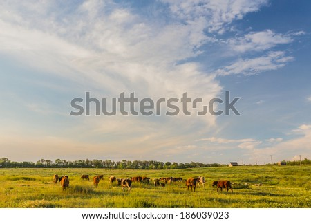 Cows grazing in green meadow. Summer landscape - stock photo