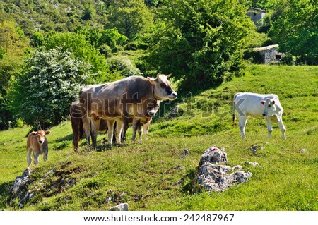Cows grazing in green valley, Italy - stock photo
