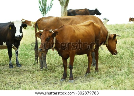 Cows grazing in meadow - stock photo