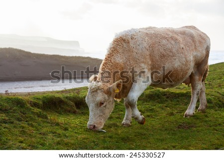 Cows grazing in the field on the west coast of Ireland. - stock photo