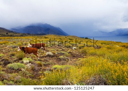 Cows grazing in the pampas, Patagonia, Argentina - stock photo